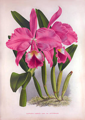 Painting - Vintage Lindenia Orchids No.16  Lindenia Collection Of 1887 by Joy of Life Art Gallery