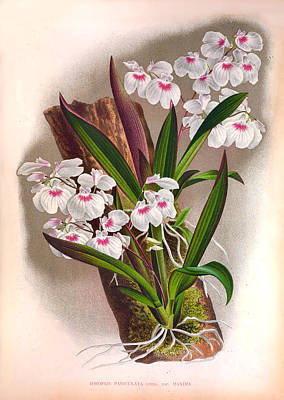 Painting - Vintage Lindenia Orchids No.18  Lindenia Collection Of 1887 by Joy of Life Art Gallery