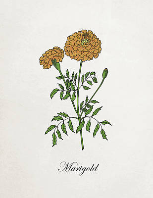 Mixed Media - Vintage Marigold. Botanical by Masha Batkova