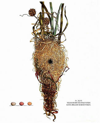 Nature Study Painting - Vintage Nature, Long Billed Marsh Wren Nest, Eggs by Tina Lavoie