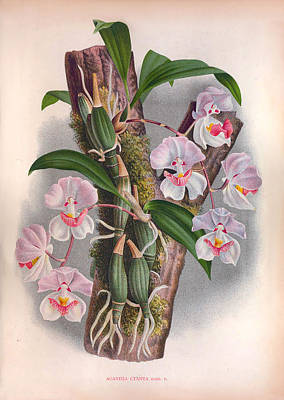 Painting - Vintage Orchids No.14 - Lindenia Iconographie Des Orchidees Collection  1887 by Joy of Life Art Gallery