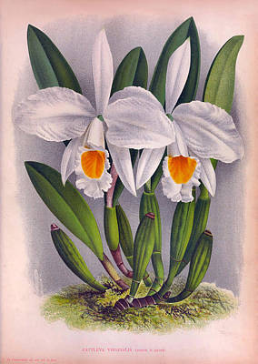 Painting - Vintage Orchids No.5 Lindenia Collection Of 1887 by Joy of Life Art Gallery