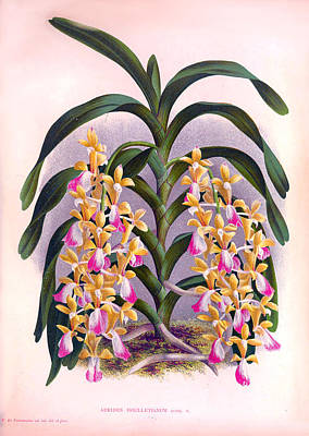 Painting - Vintage Orchids No.7 Lindenia Collection Of 1887 by Joy of Life Art Gallery