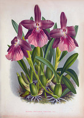 Painting - Vintage Orchids No.9 Lindenia Collection Of 1887 by Joy of Life Gallery