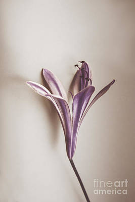 Lilies Royalty-Free and Rights-Managed Images - Vintage purple bloom by Jorgo Photography - Wall Art Gallery