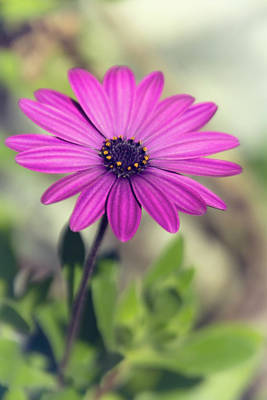 Photograph - Vintage Purple Daisy  by Saija Lehtonen