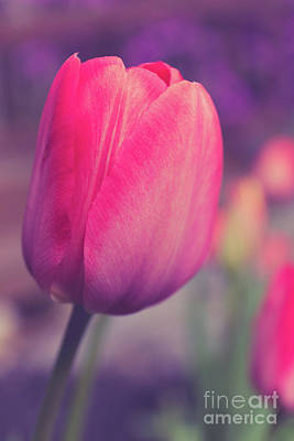 Photograph - Vintage Red Tulip Flower by Edward Fielding