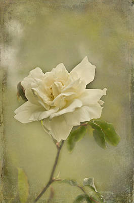 Photograph - Vintage Rose by Jacqi Elmslie