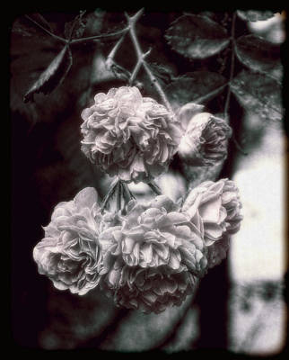 Photograph - Vintage Roses by Louise Kumpf