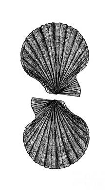 Print featuring the photograph Vintage Scallop Shells by Edward Fielding
