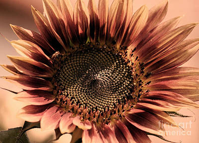 Photograph - Vintage Sunflower by Erica Hanel
