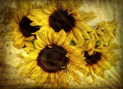 Photograph - Vintage Sunflowers by Wallaroo Images
