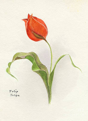 Botanical Drawing - Vintage Tulip Watercolor by Edward Fielding