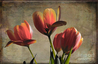 Photograph - Vintage Tulips In February Sunlight by Nina Silver
