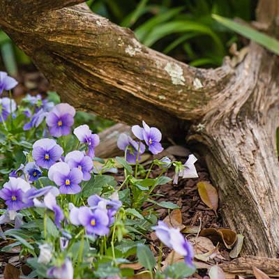 Photograph - Viola Cluster by Stephanie Maatta Smith