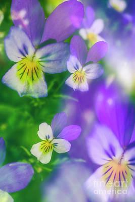 Pansy Photograph - Viola Tricolor by Veikko Suikkanen