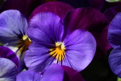 Johnny Jump Up Pansy Photograph - Violas 1 by Kathryn Meyer
