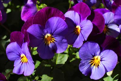 Johnny Jump Up Pansy Photograph - Violas 2 by Kathryn Meyer