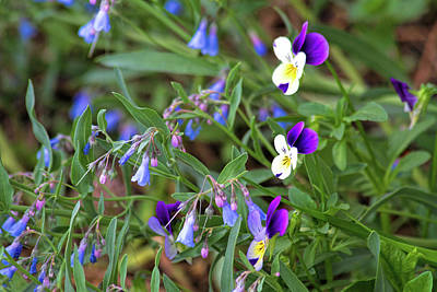 Photograph - Violas And Mertensia by Alana Thrower