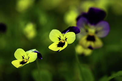 Photograph - Violas by Jay Stockhaus
