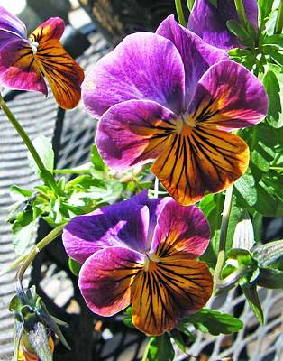 Photograph - Violas by Lizi Beard-Ward