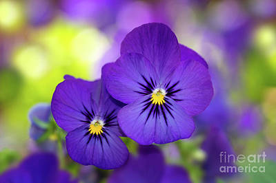 Photograph - Violas by Mimi Ditchie
