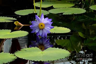Photograph - Violet And Yellow Water Lily Flower In Water With Floating Leaves by Imran Ahmed