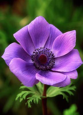 Violet Anemone Art Print