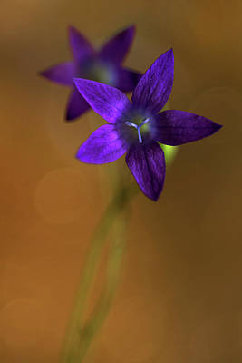 Photograph - Violet Bell Flowers In The Morning Light by Jaroslaw Blaminsky
