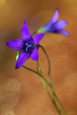 Photograph - Violet Bells Flowers by Jaroslaw Blaminsky