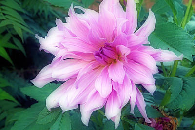 Photograph - Violet Colored Dahlia by Kay Novy