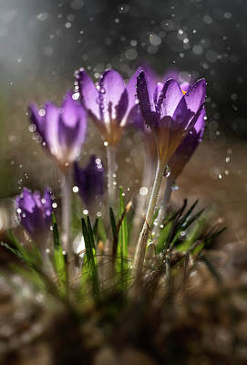 Photograph - Violet Crocuses In The Morning Rain by Jaroslaw Blaminsky