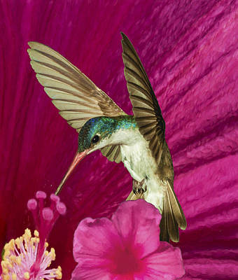 Photograph - Violet Crowned Hummingbird At Hibiscus by Gregory Scott