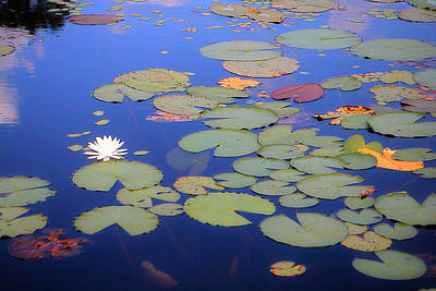 Photograph - Violet Cury Lily Pads 01 by Carol Kay