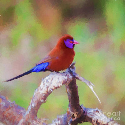 Digital Art - Violet-eared Waxbill Uraeginthus Granatinus by Liz Leyden