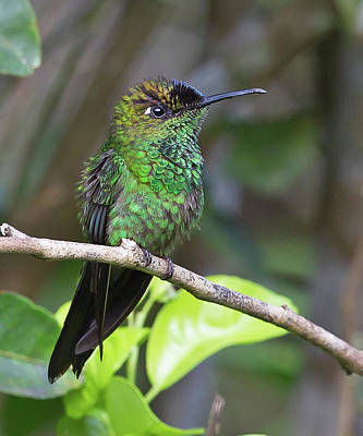 Photograph - Violet-fronted Brilliant by Jean-Luc Baron