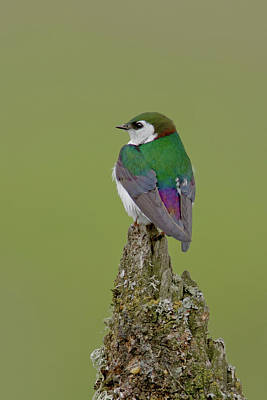 Photograph - Violet Green Swallow by Craig Strand