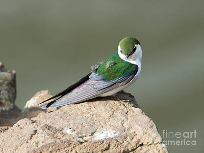 Violet-green Swallow Art Print by Mike Dawson