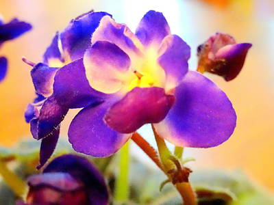 Photograph - Violet In Bloom by Amanda Balough