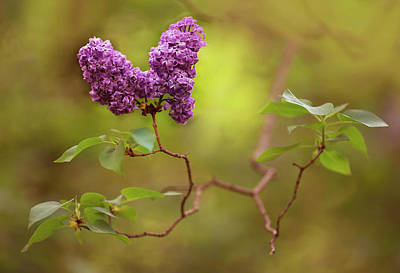 Photograph - Violet Lilac Flowers by Jaroslaw Blaminsky