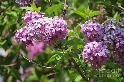Photograph - Violet Lilacs by Kay Novy