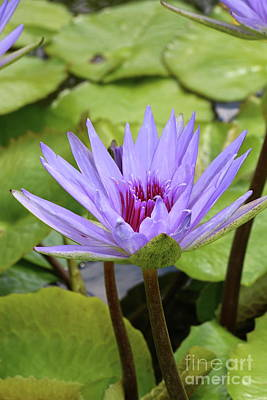 Photograph - Violet Nymphaea by Christiane Schulze Art And Photography
