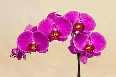 Photograph - Violet Orchid On White by Willie Harper