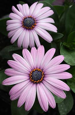 Photograph - Violet Osteospernum Daisies by Bruce Bley