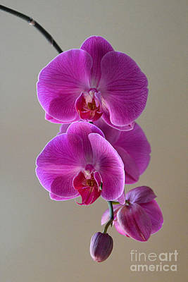 Photograph - Violet Phalaenopsis Orchid by Catherine Sherman