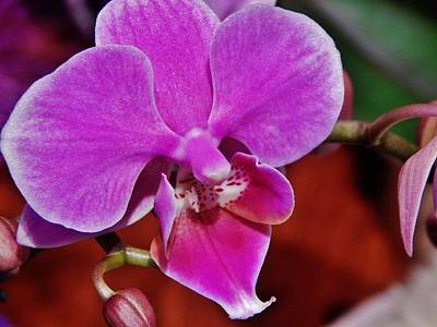 Photograph - Violet Pink Orchid by VLee Watson