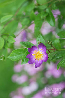 Photograph - Violet Rambler by Tim Gainey