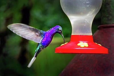 Photograph - Violet Sabrewing Hummingbird by Carolyn Derstine