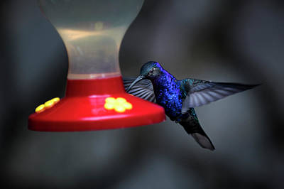 Photograph - Violet Sabrewing Hummingbird by James David Phenicie