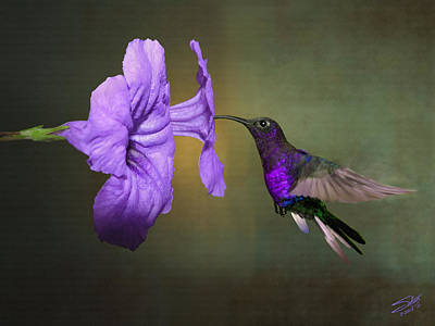 Digital Art - Violet Sabrewing Hummingbird by Spadecaller